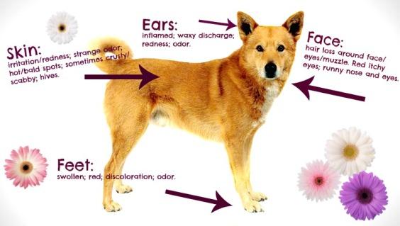Dog-allergies